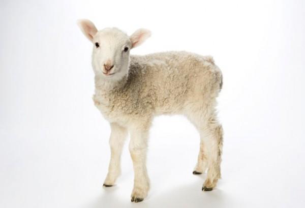White lamb-symbol-Amun