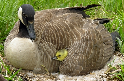 Canada Goose-chick-wing-bird