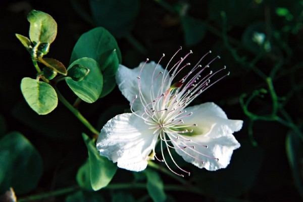 fig-flower