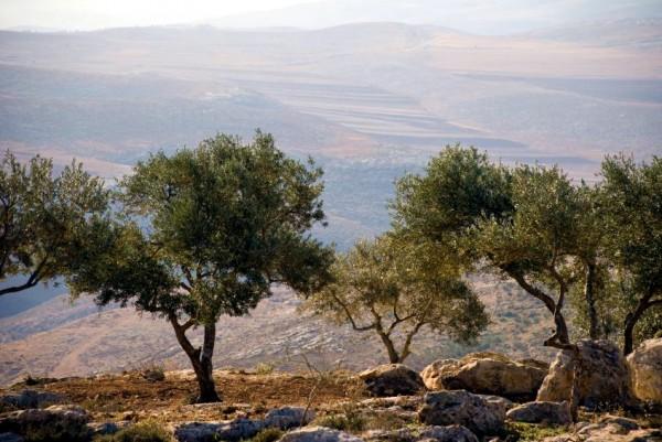 Olive Tree-Nablus