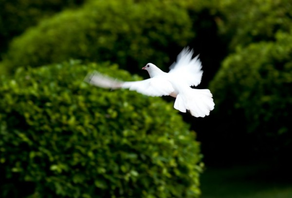 white dove-flight-peace