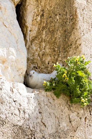 pigeon-Western (Wailing) Wall