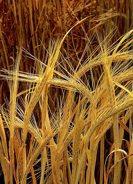 Hordeum barley
