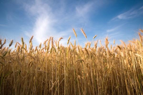 Wheat-sky-field