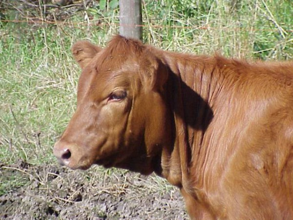 red-heifer-young-female-cow