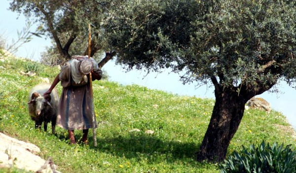 Shepherd-olive tree-Sea of Galilee