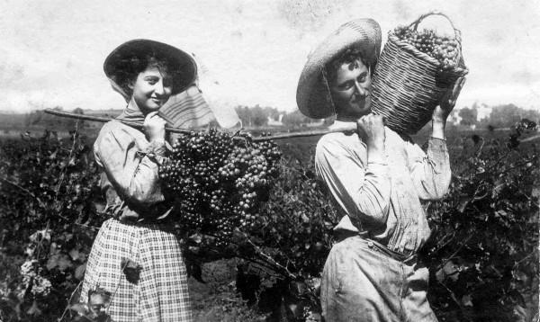 Harvesting Grapes-Agriculture-Vineyards