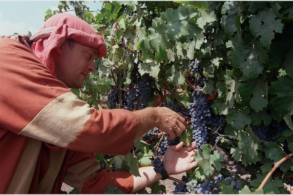 Golan Heights-Vineyaards-grape-harvest