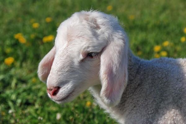 Newborn-Lamb