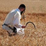 hand-harvesting-wheat-in-Israel