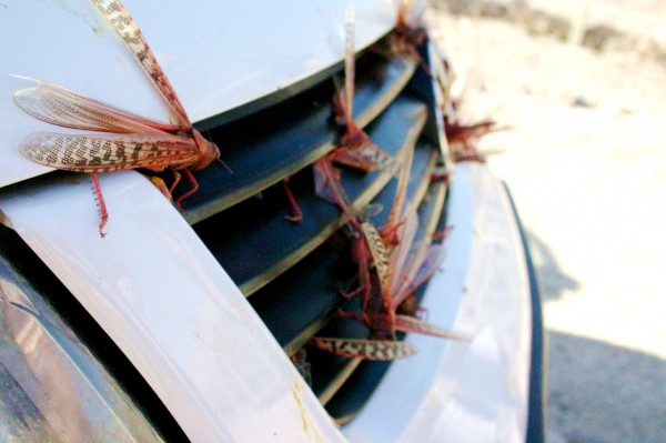 Locusts on the grill of a car in Eilat, Israel (Photo by Niv Singer)