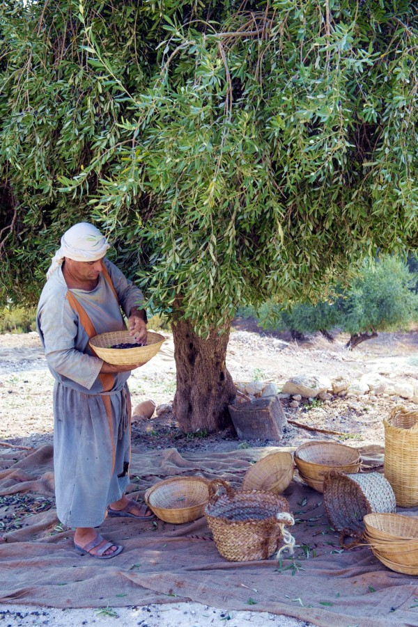 Harvesting olives at Nazareth Village, a re-creation of life during the time of Messiah.