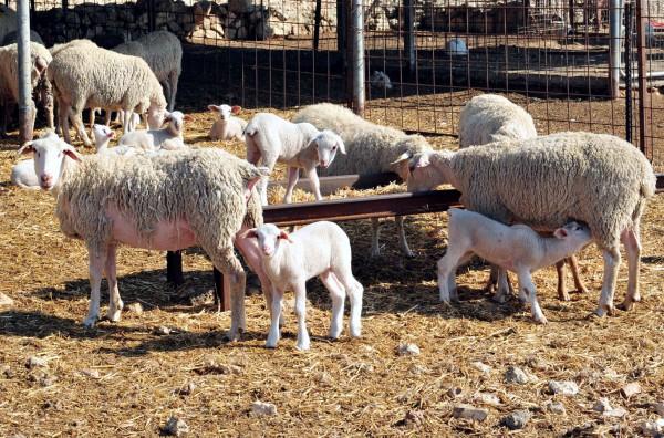 Lambs among the sheep herd.