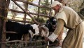 A shepherd tends his flock at a tourist attraction recreating first century village life in Israel.