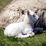 Ewe with a newborn lamb