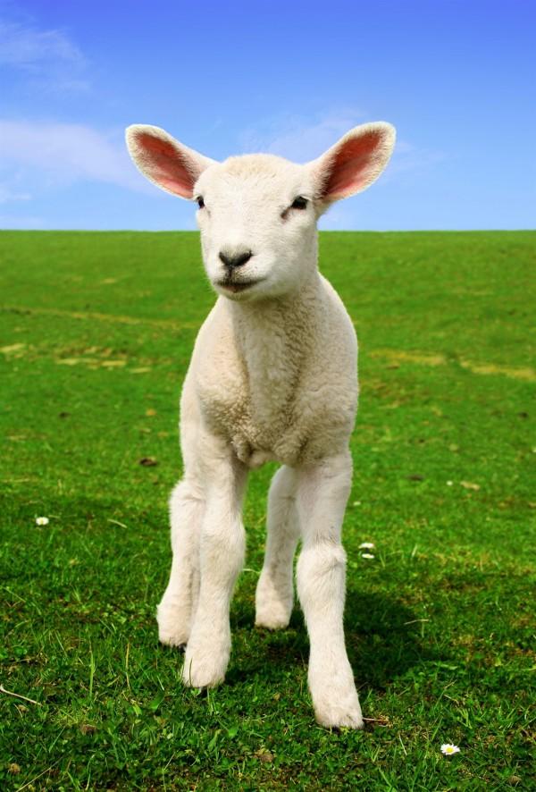 A white lamb.