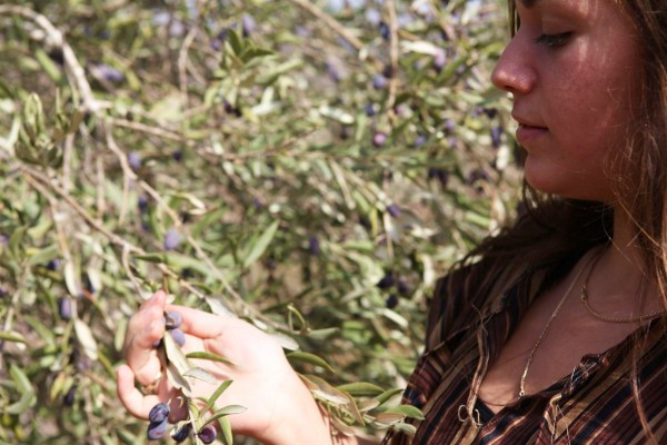 Olive picking in Israel (State of Israel photo)