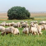 A flock of sheep graze in Israel.