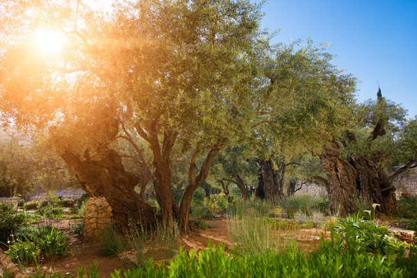 Olive trees in the Garden of Gethsemene in Jerusalem