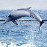 Red Sea-Dolphin-Israel-Eilat