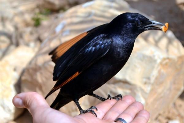 Handfeeding a Tristram's Starling-bird- Masada- Dead Sea-Judean Desert-provision