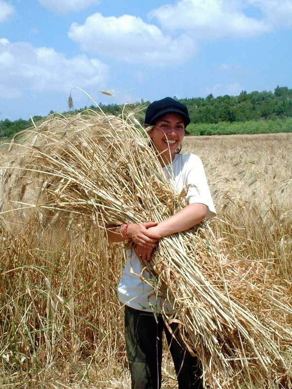 Harvesting barley in Israel (Photo by Luz Prieto)