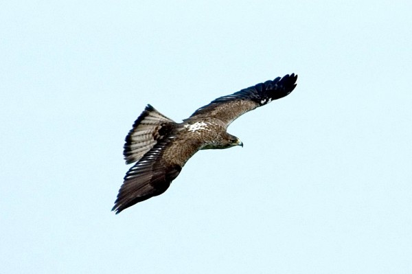 Bonelli's eagle-Gamla Nature Reserve-on the wings of an eagle