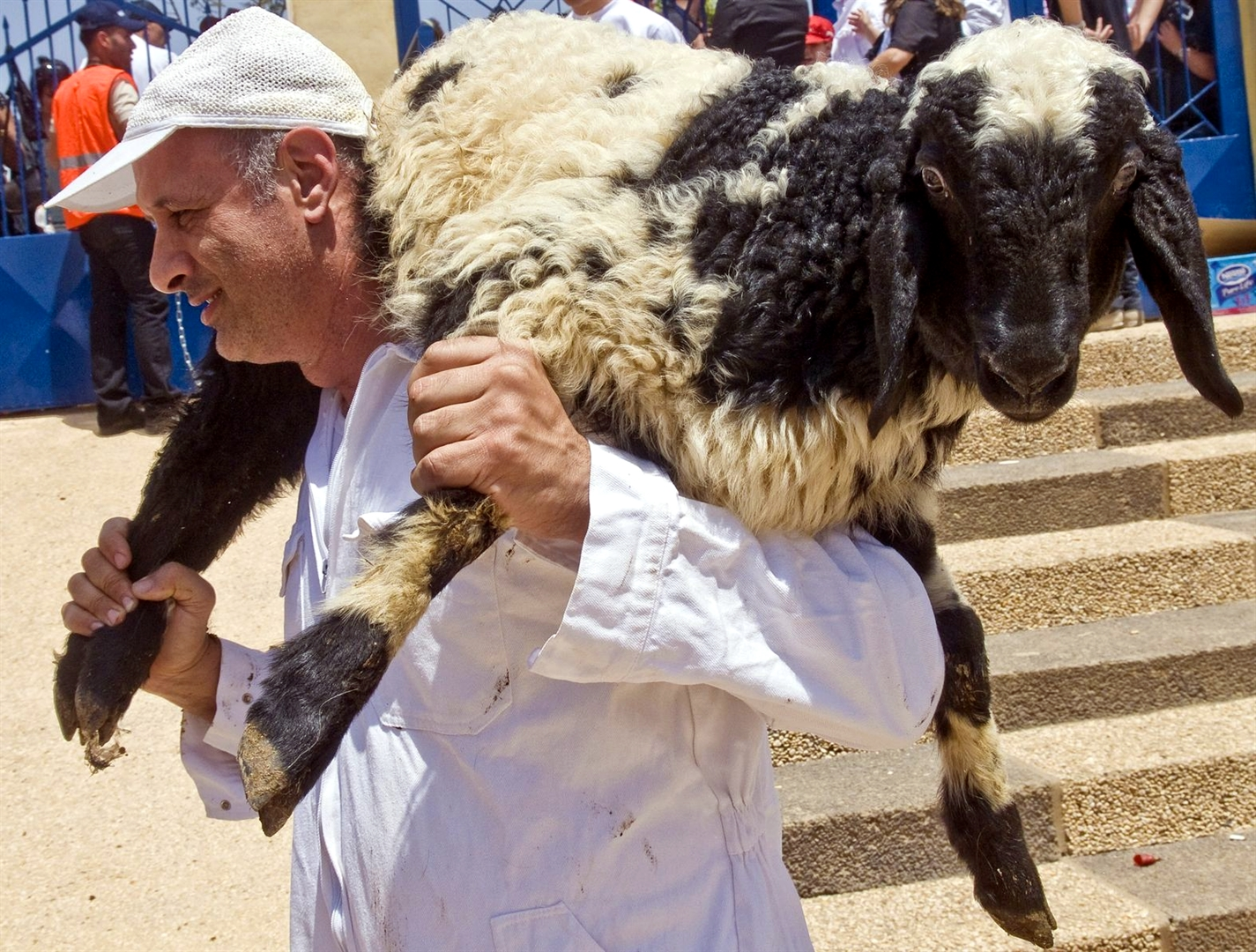 A Samaritan carries a sheep during Passover.