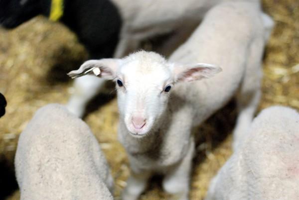sheep-lamb-shepherd