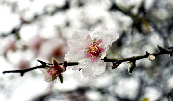 1080 almond blossom in Israel by Izhar Laufer