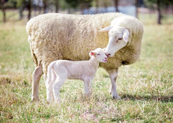 Passover, Pesach, Passover lamb