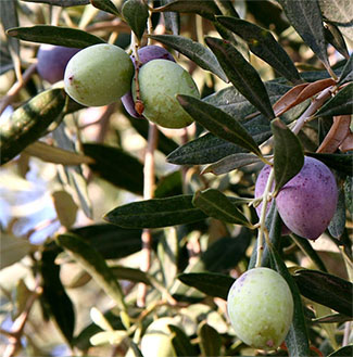 Fruit of an olive tree by the Dead Sea.