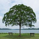 lone tree by water with benches on either side