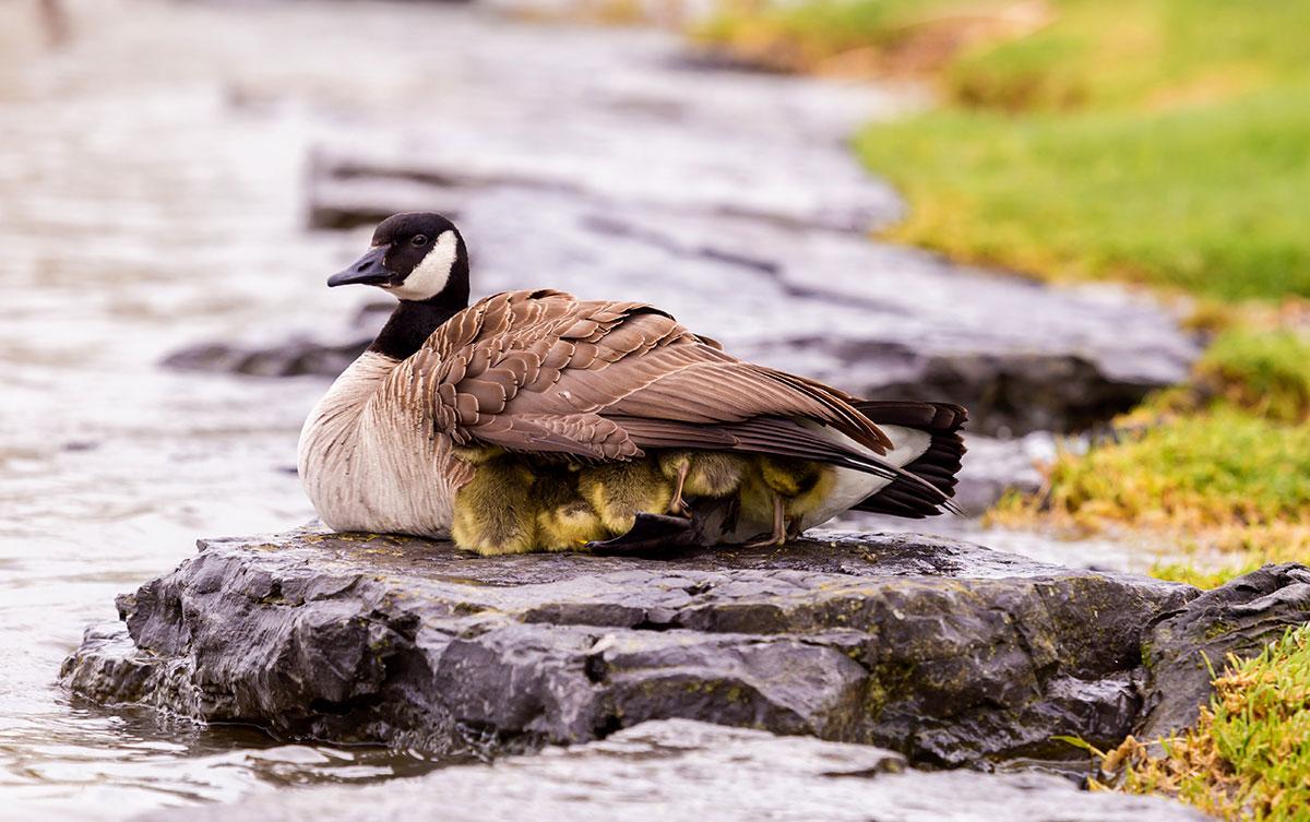 Ducklings take refuge under mother duck wing