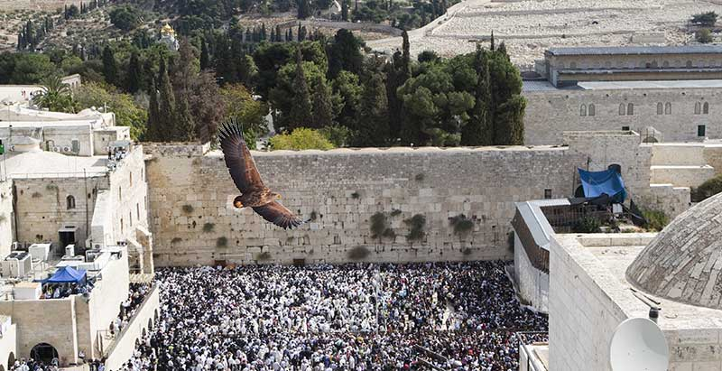white-tailed eagle flying over western wall plaza crowds